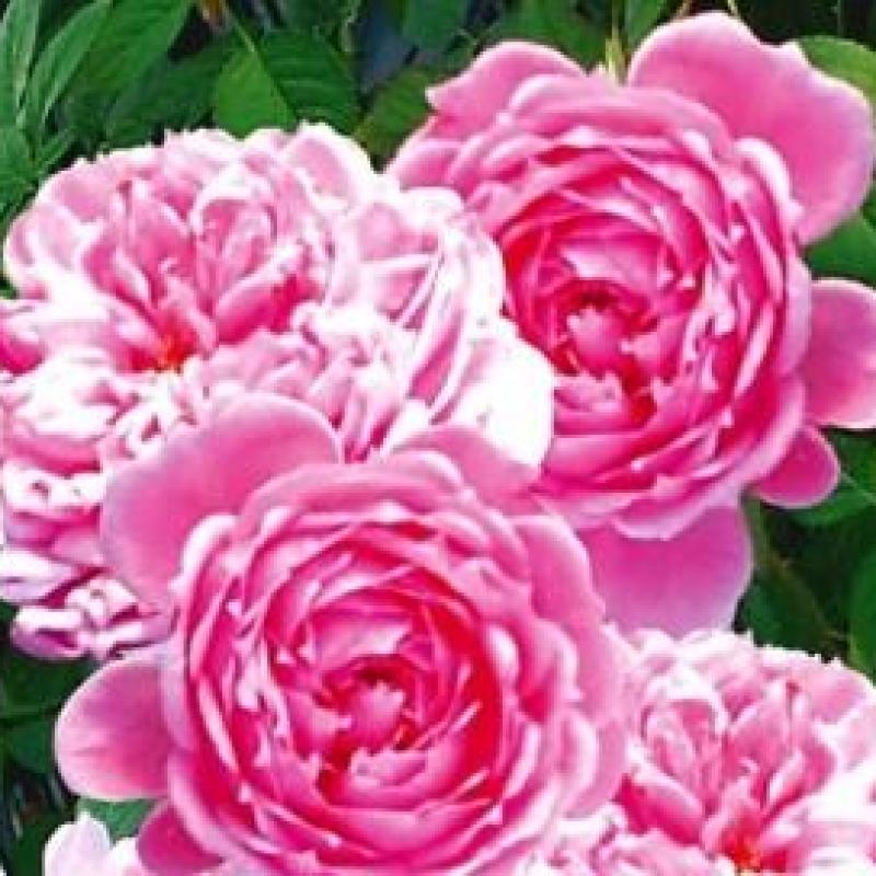 Розы Фи Клочетте