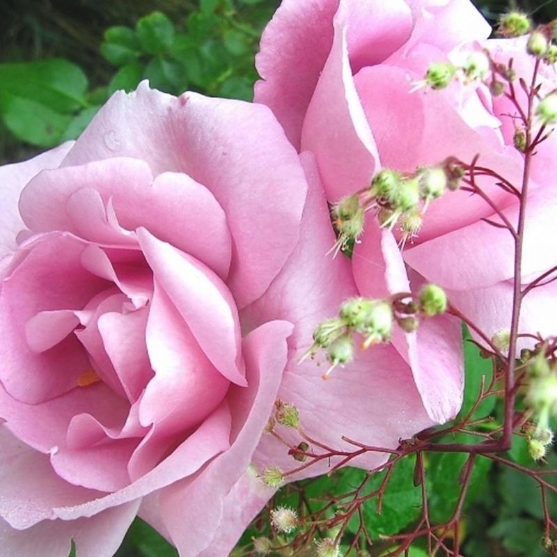 Розы Ла Роуз ду Петит Принце