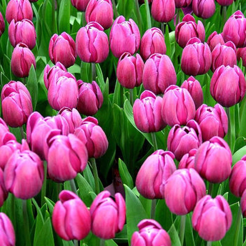 Тюльпаны Солва