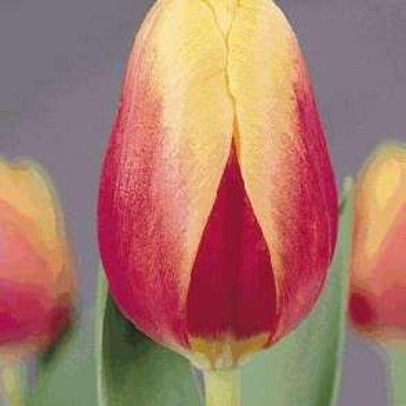 Тюльпаны Ван Нелле Традиционал