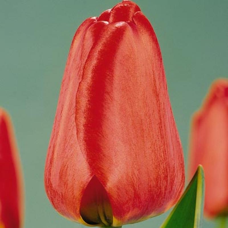 Тюльпаны Тон Аугустинс