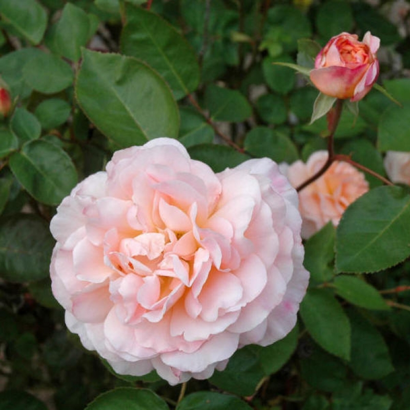 Розы Тамора