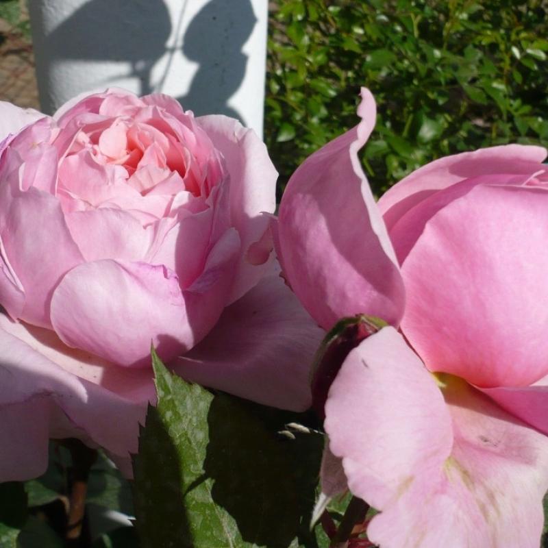 Розы Бразер Кадфаэль