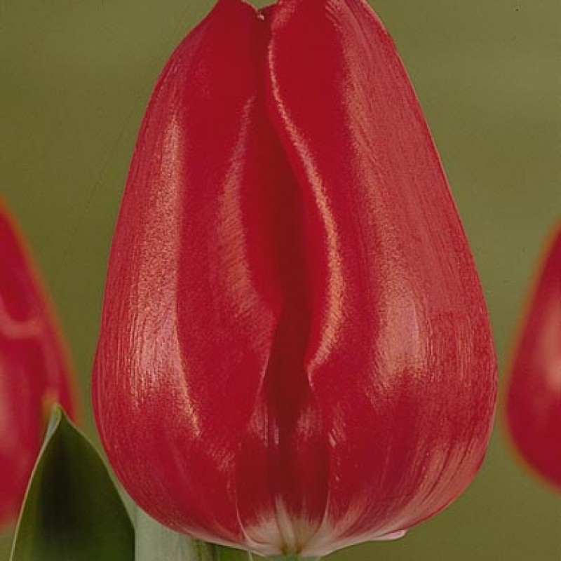 Тюльпаны Динамит