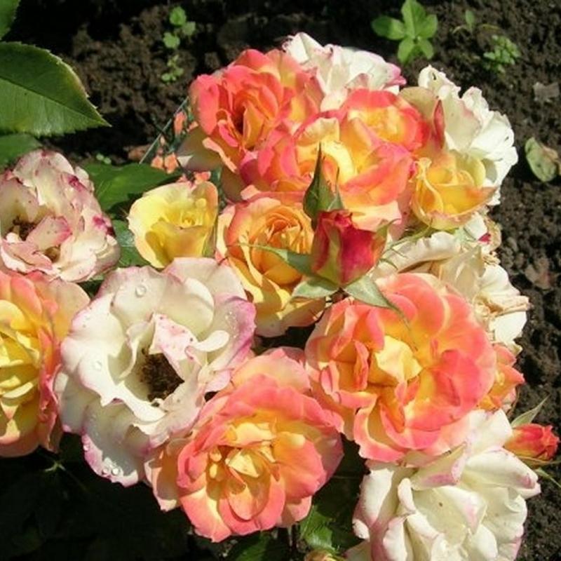 Розы Палатино