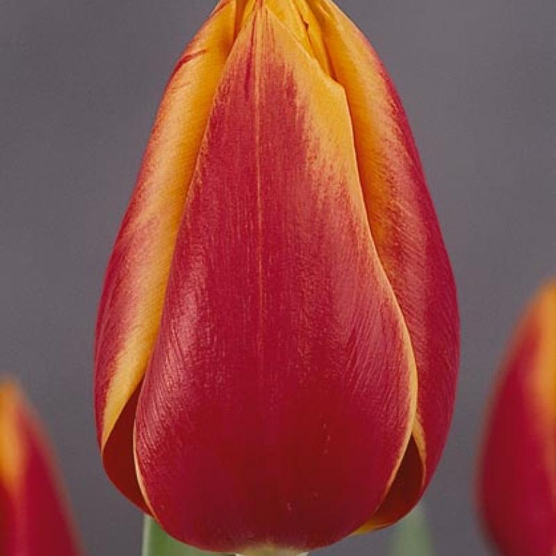 Тюльпаны Мэри Белл