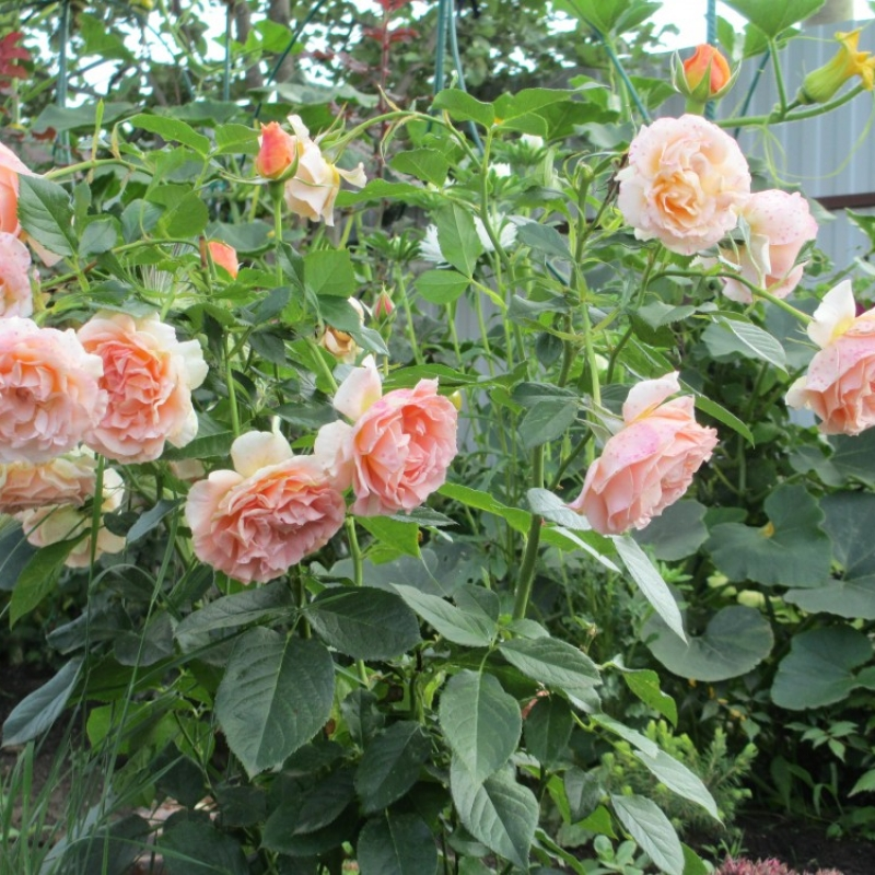 Розы Голд Раш