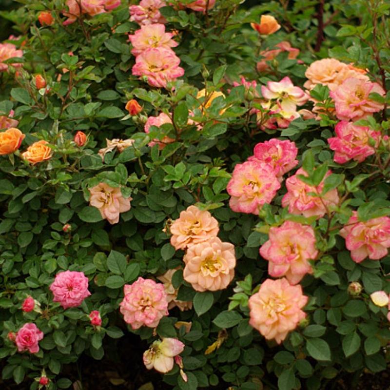 Розы Эприкот Клементин