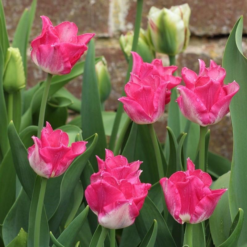 Тюльпаны Либерстар