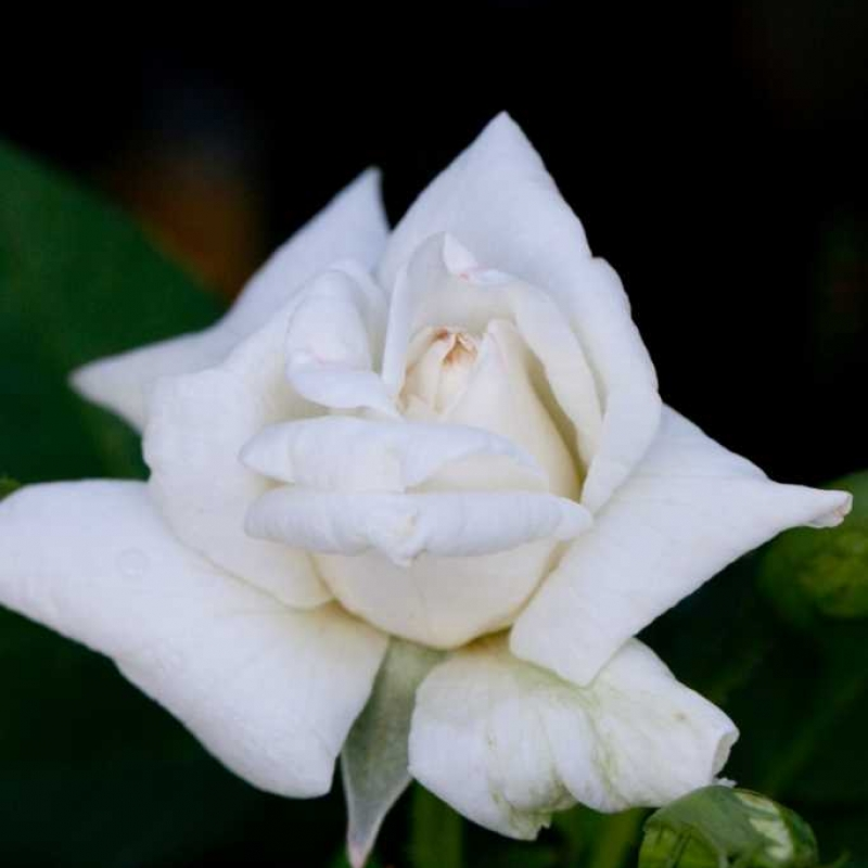 Розы Уайт Квин