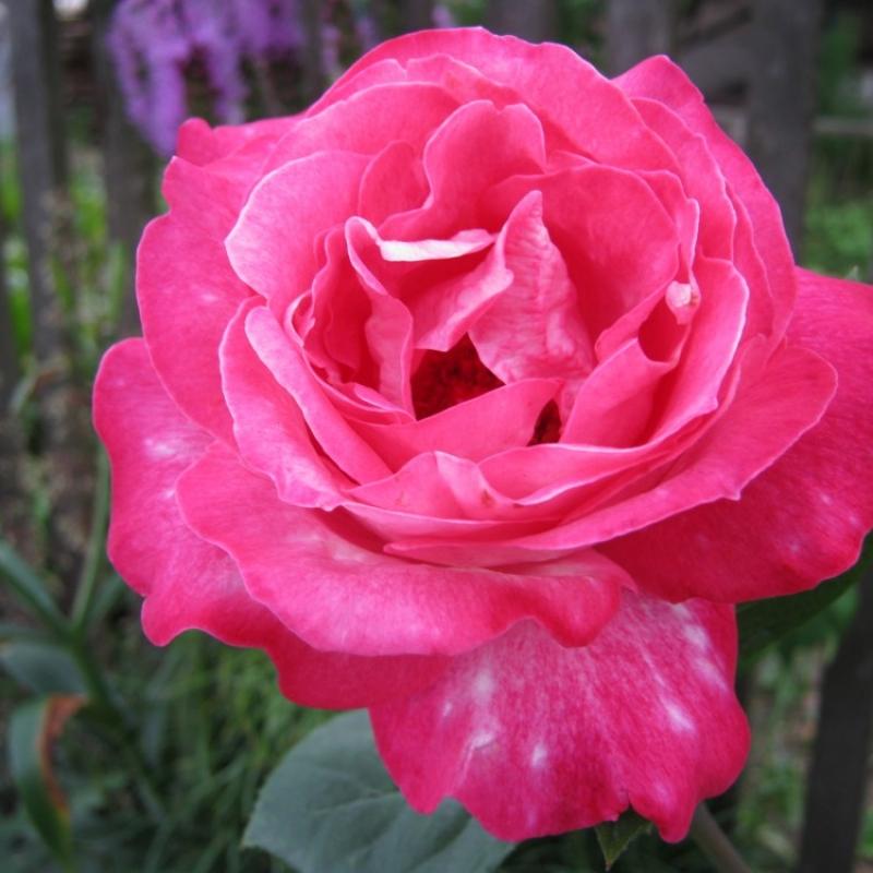Розы Гайярд