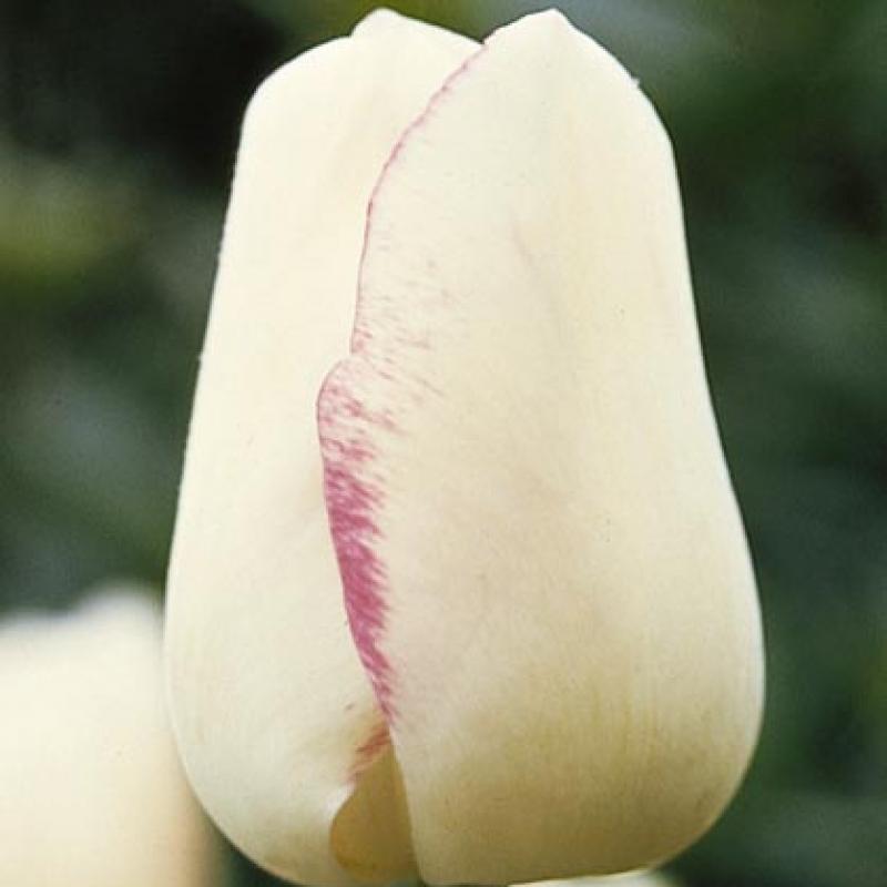 Тюльпаны Магиер