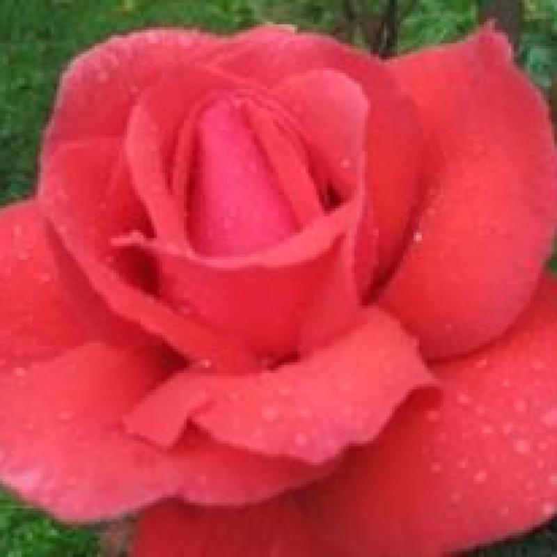 Розы Дафтзаубер 84