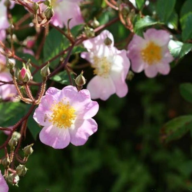 Розы Имменси