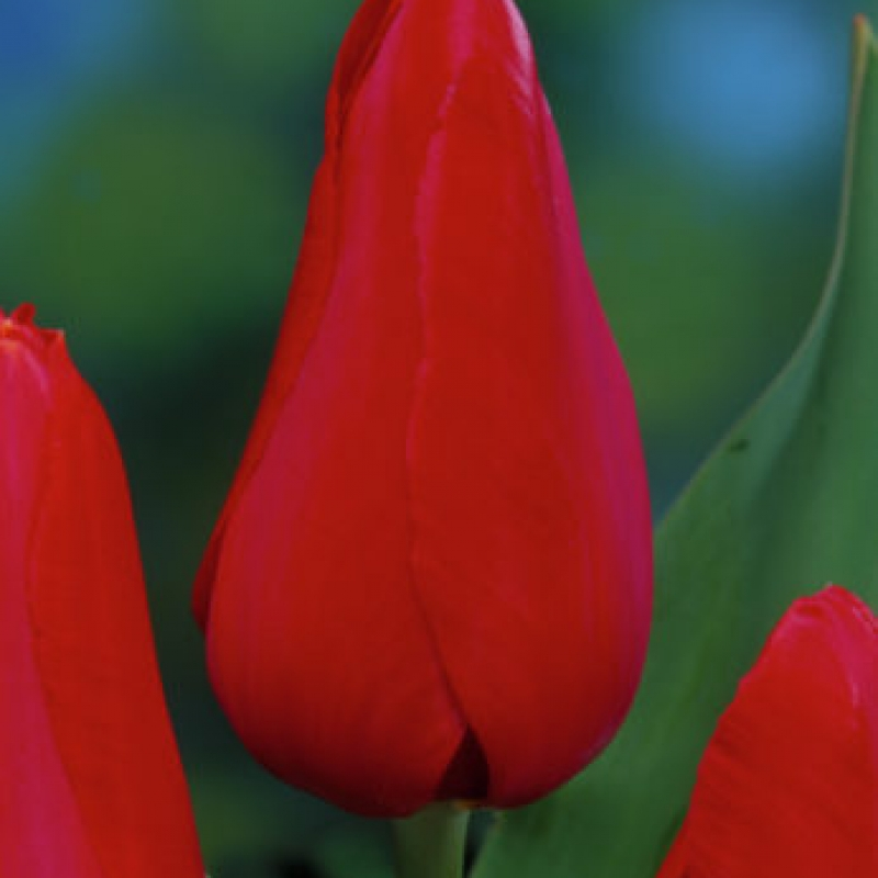 Тюльпаны Кашмир