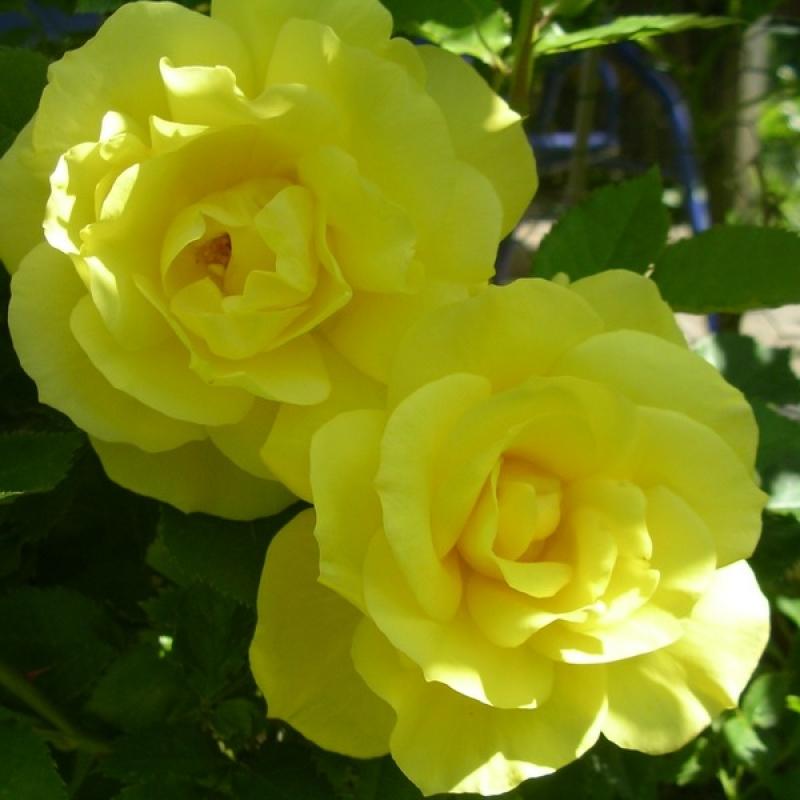 Розы Гелбер Енгел
