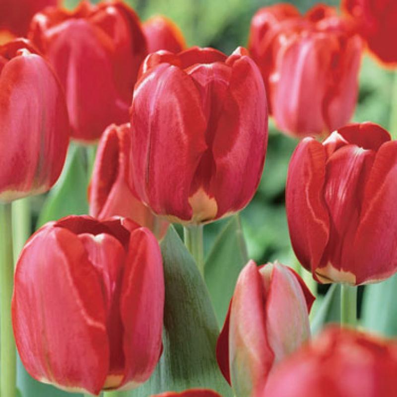 Тюльпаны Спринг Сонг