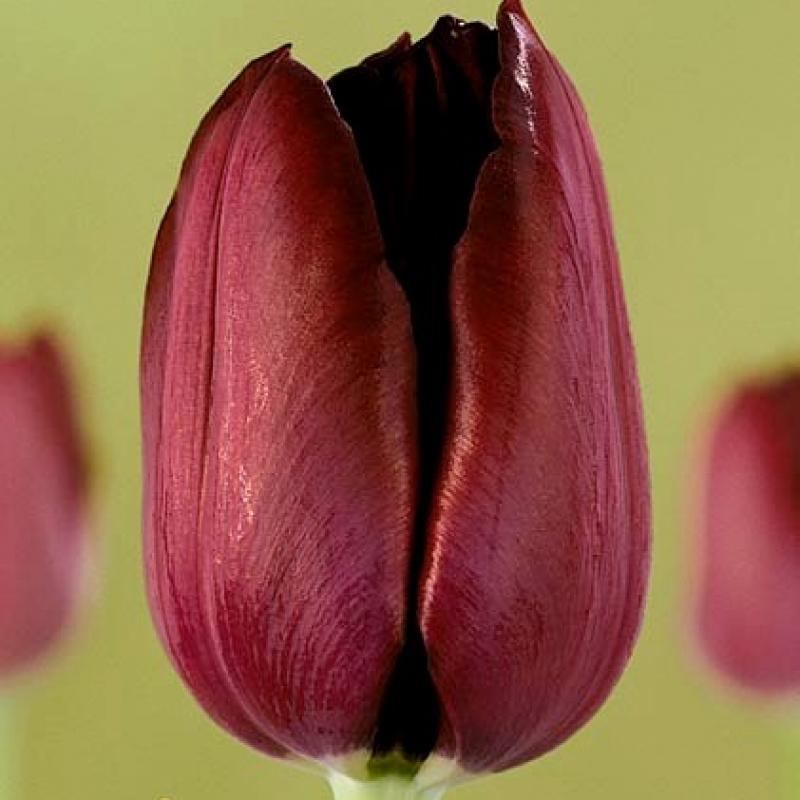Тюльпаны Филлип де Коминес