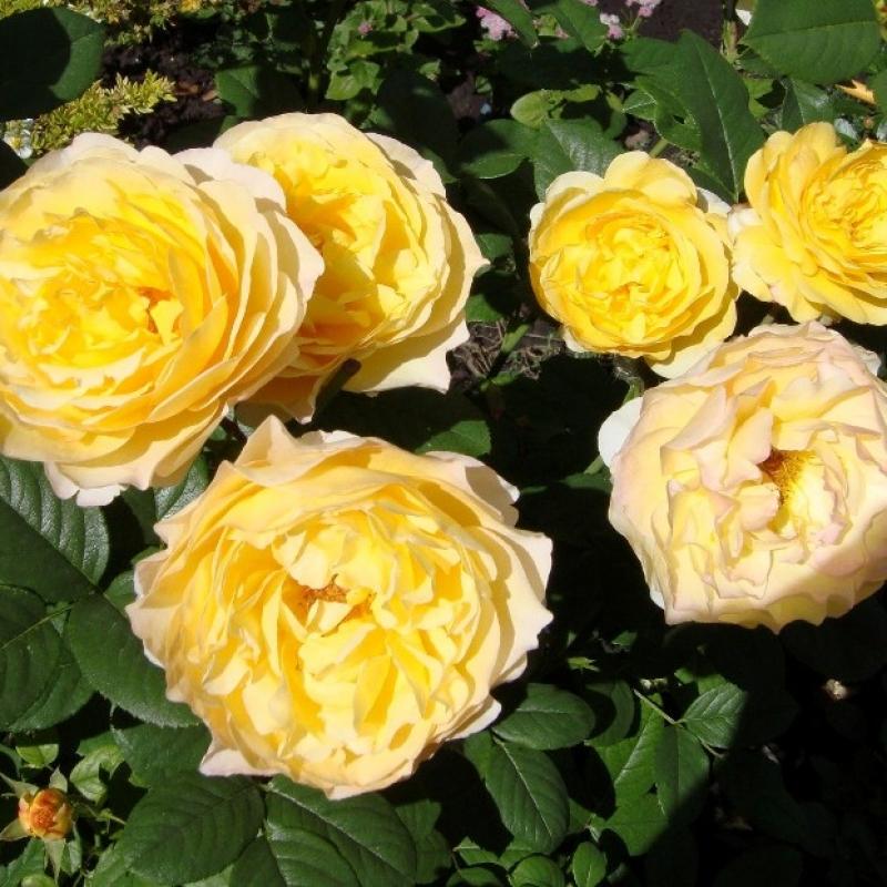 Розы Франс Инфо