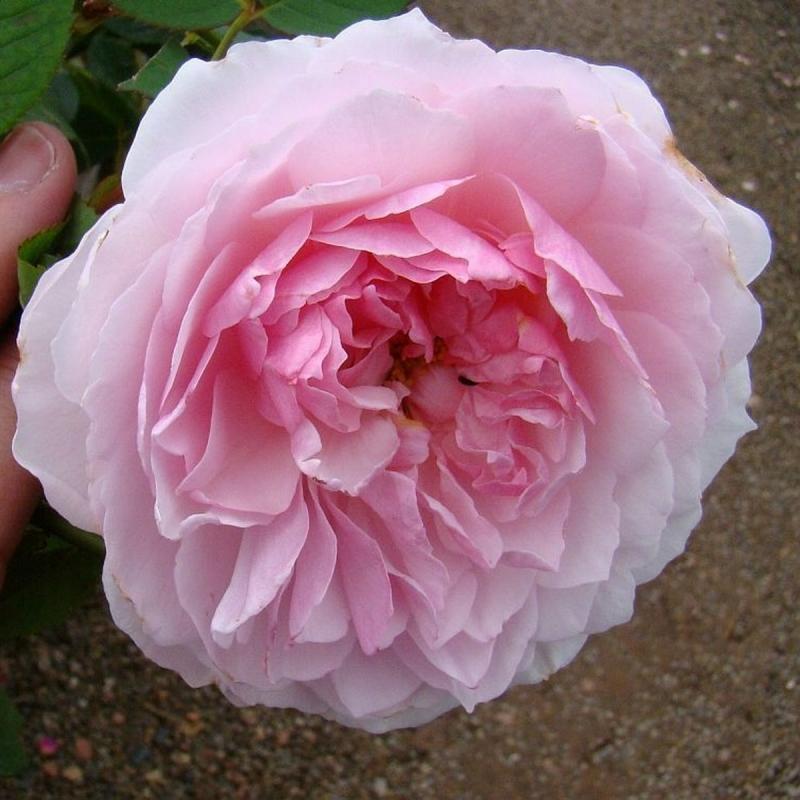 Розы Леди Салисбери