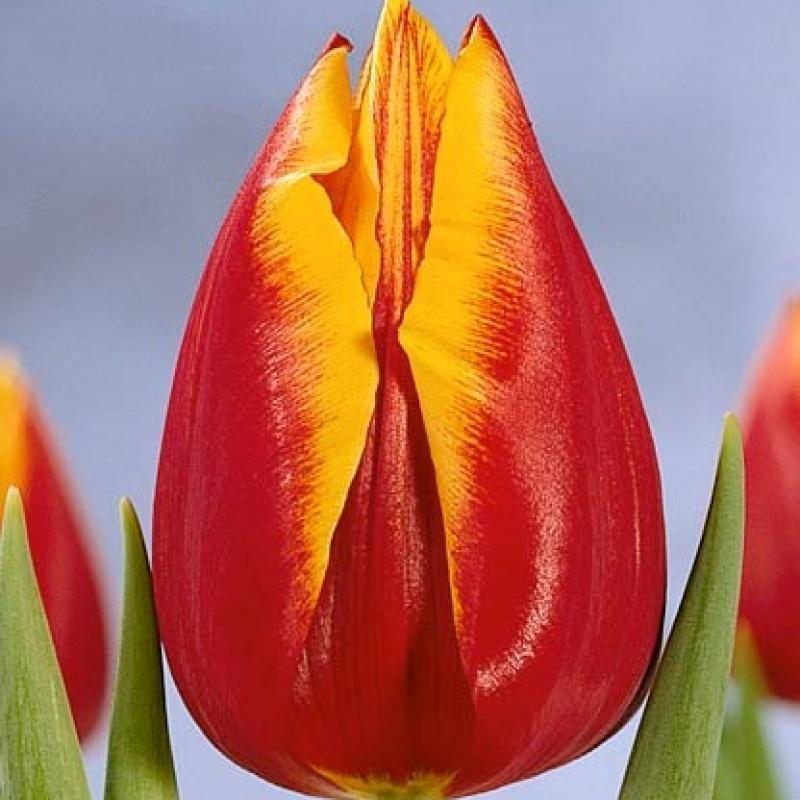 Тюльпаны Санлайф