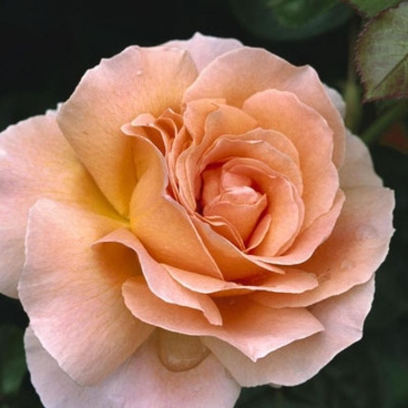 Розы Жанет