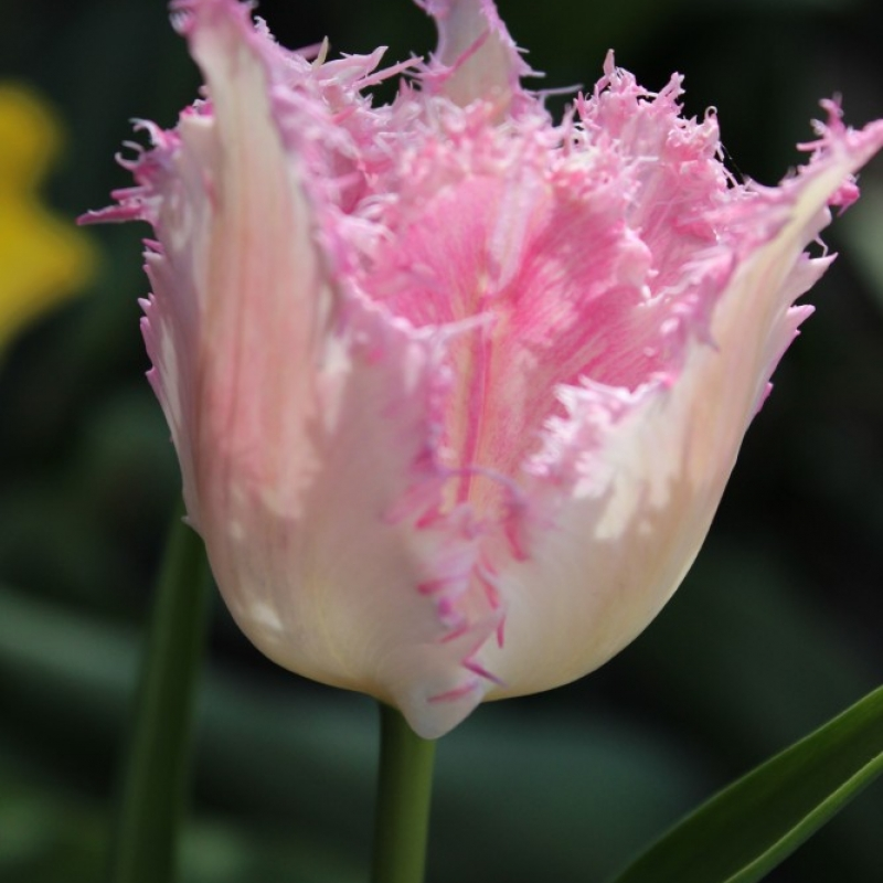 Тюльпаны Ариа Кард