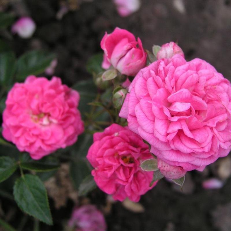 Розы Дойчес Розариум Дортмунд