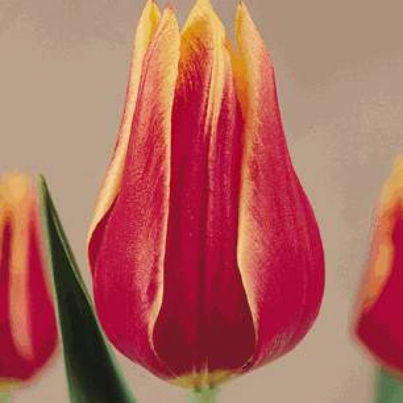 Тюльпаны Тоска