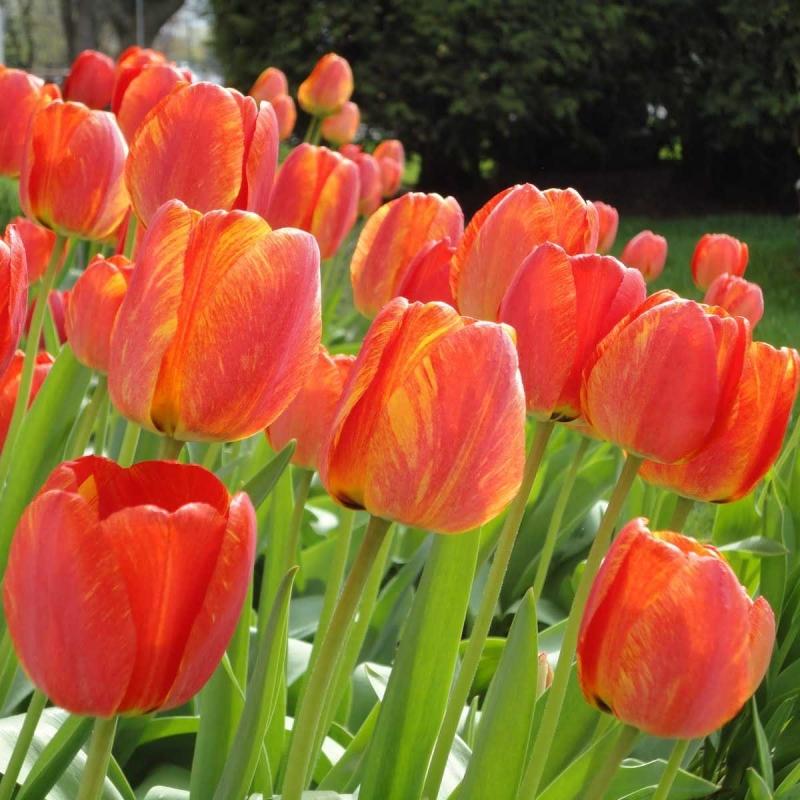 Тюльпаны Шекспир