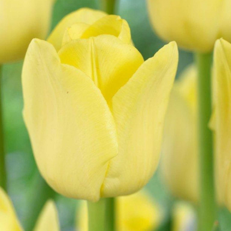 Тюльпаны Саммит