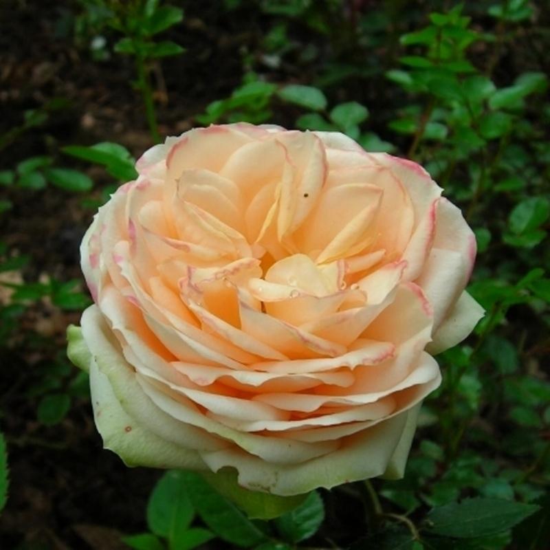 Розы Белами Кордана