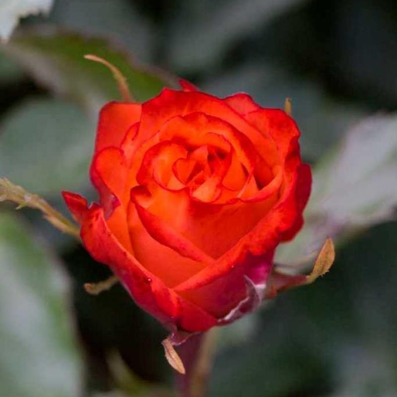 Розы Анабелль