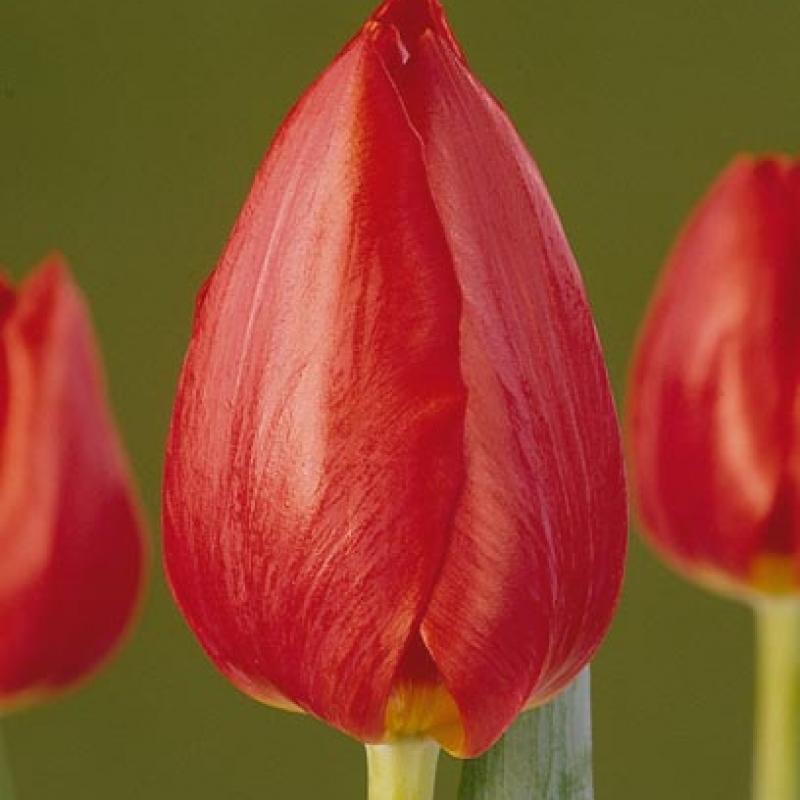 Тюльпаны Танку Силлер
