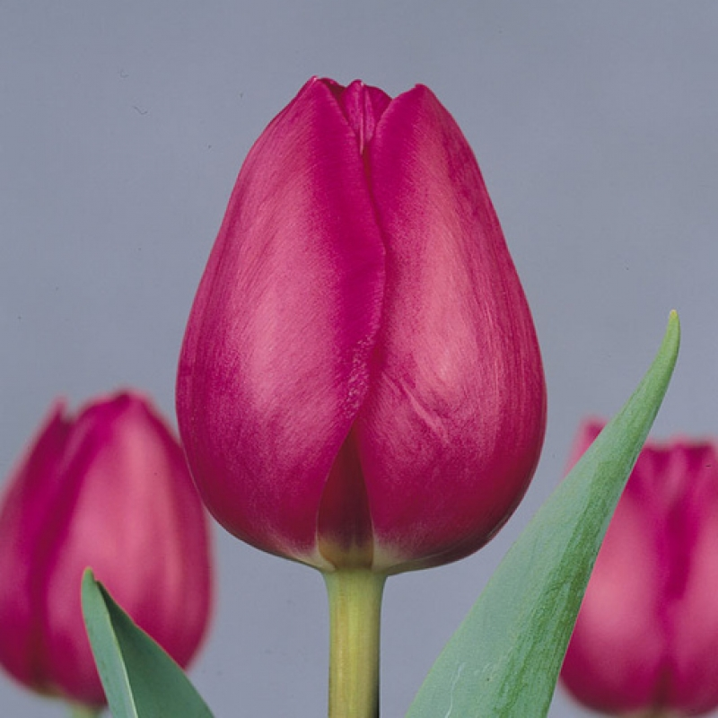 Тюльпаны Барселона