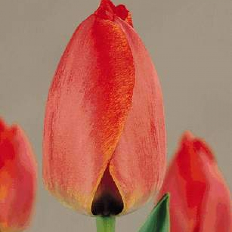 Тюльпаны Парад Рекорд