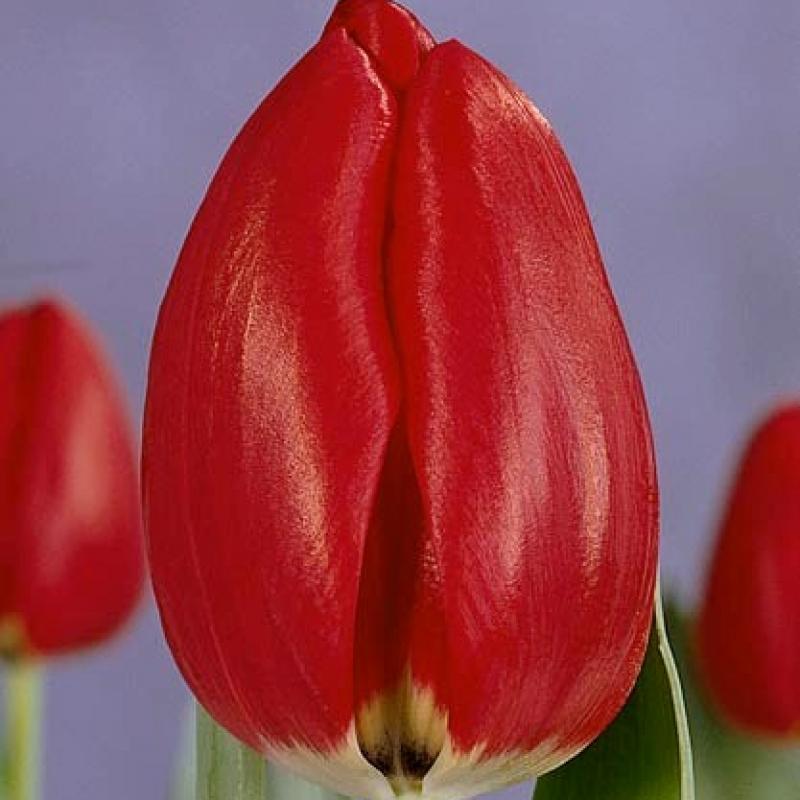 Тюльпаны Проминенс