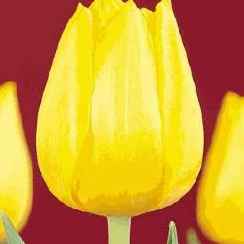 Тюльпаны Леди Марго