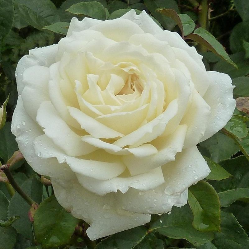 Роза жанна моро фото и описание