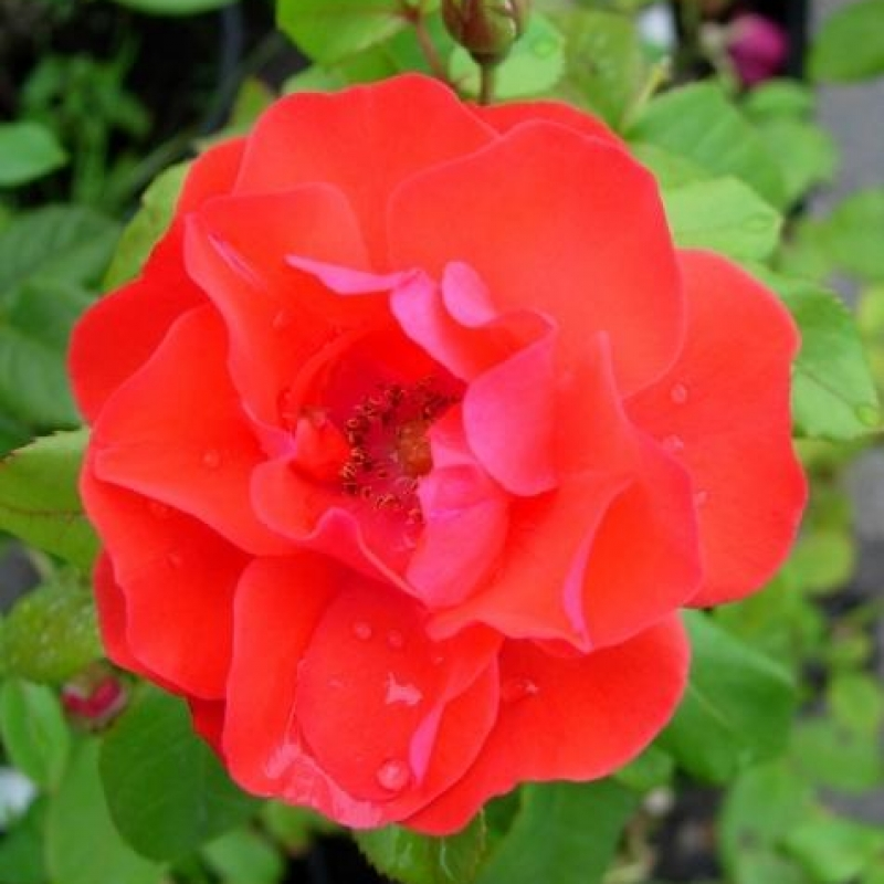 Розы Фейерверк
