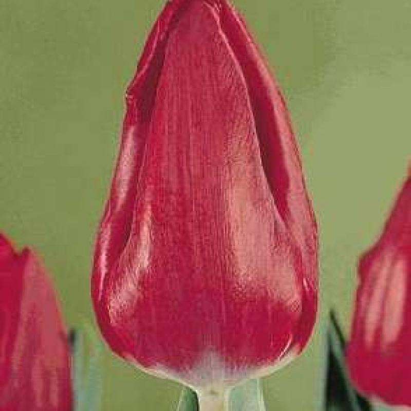Тюльпаны Найроби