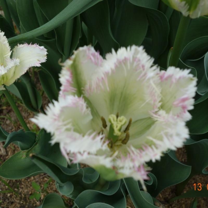 Тюльпаны Сноу Валлей