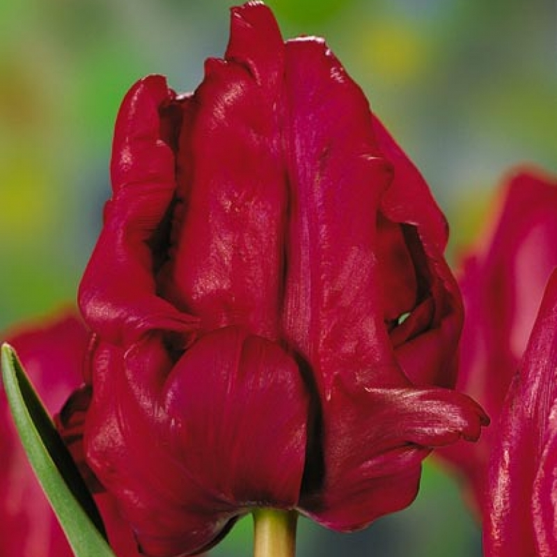 Тюльпаны Ред Кап