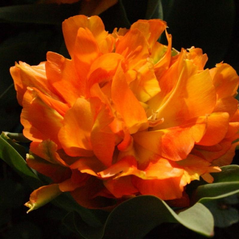 Тюльпаны Виллем ван Оранж