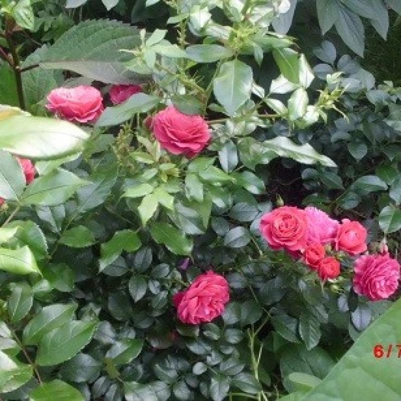 Розы Черри Герл