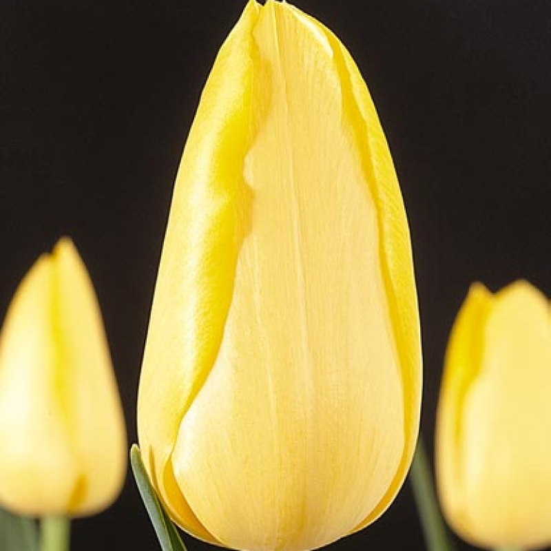 Тюльпаны Голд Берил