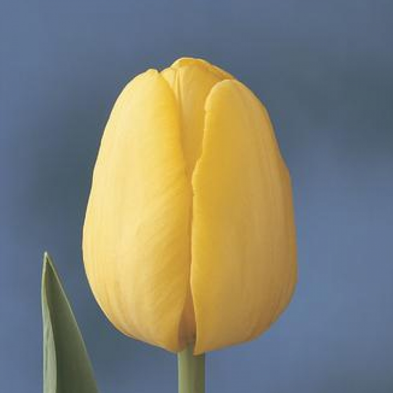Тюльпаны Йеллоу Презент
