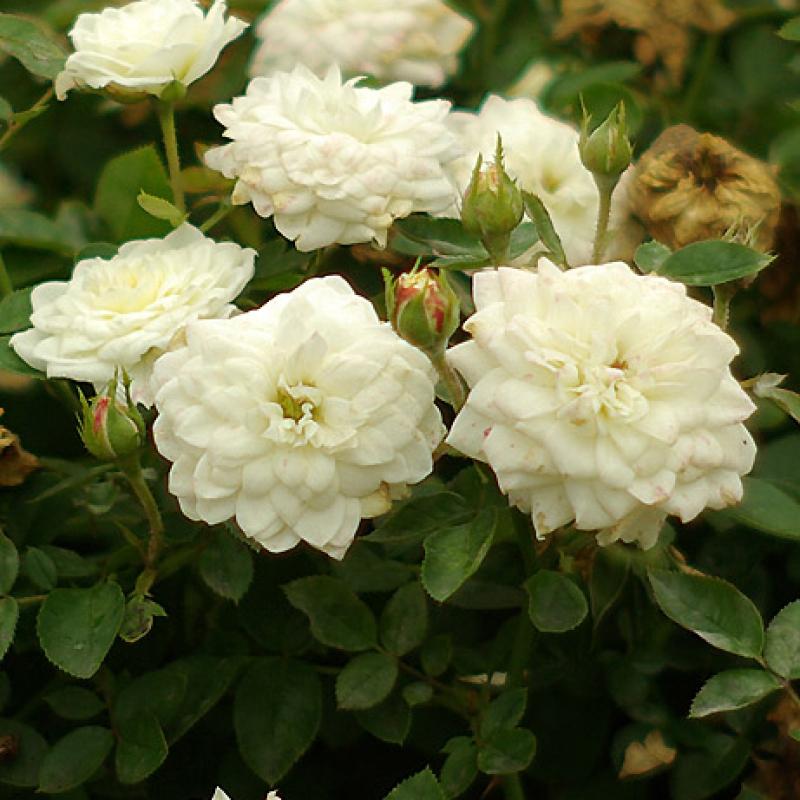 Розы Сноу Кэп