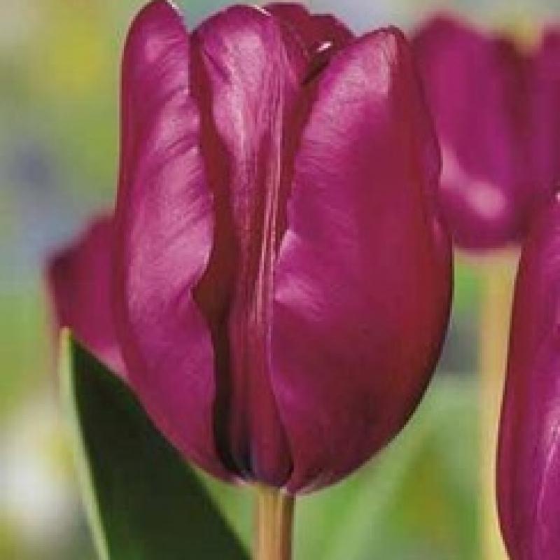 Тюльпаны Перпл Рэйн