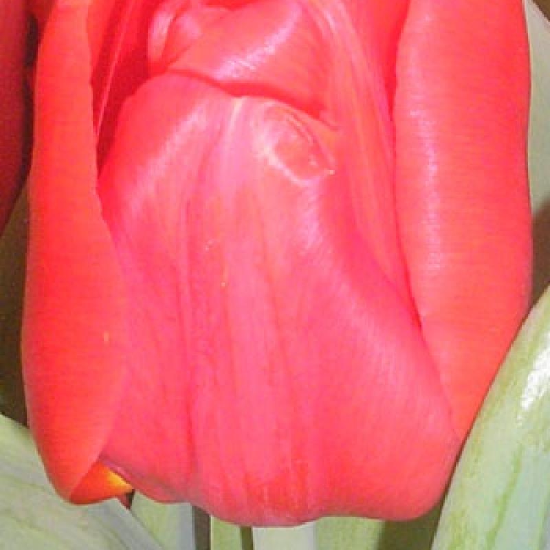 Тюльпаны Флэш Поинт